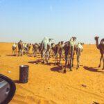 Kameel op de weg - Kamelen