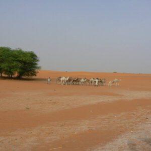 Kameel op de weg - kamelen in de verte